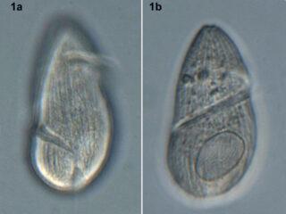 Gyrodinium spirale
