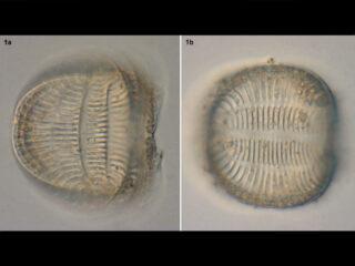 campylodiscus_undulatus