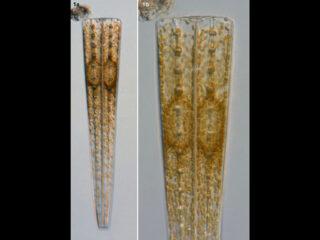 Climacosphenia moniligera