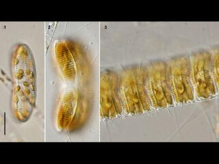 Achnanthes longipes
