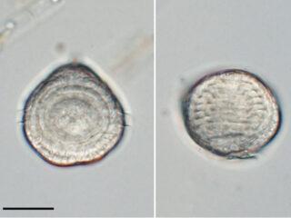 amoebophrya sp