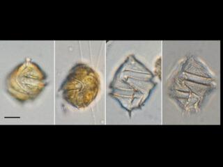 Gonyaulax spinifera