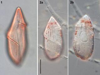 Gyrodinium britannicum