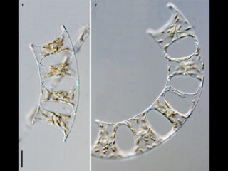Eucampia zodiacus