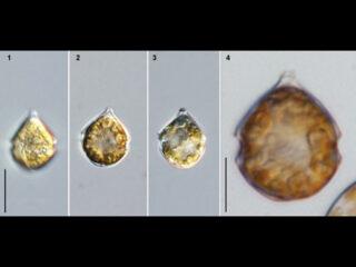 Scrippsiella trochoidea