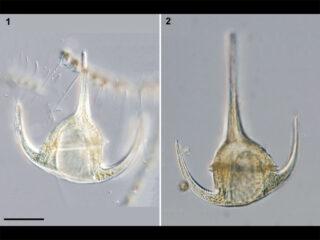Neoceratium breve
