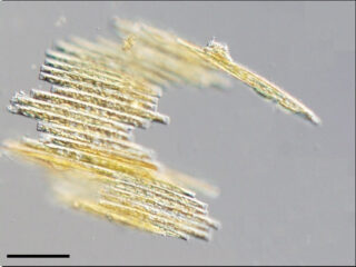 Bacillaria paxillifer