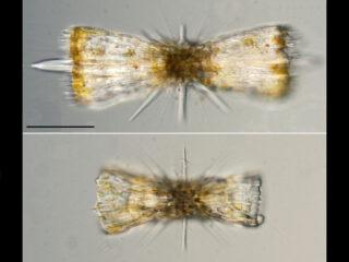 Diploconus fasces