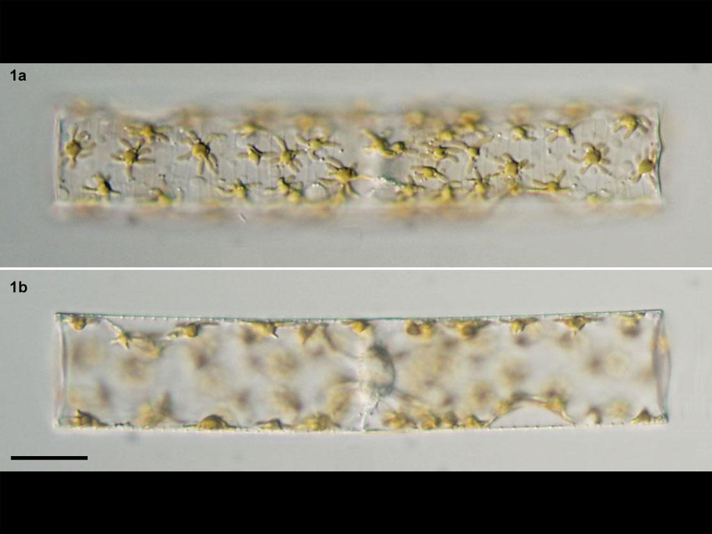 Guinardia flaccida