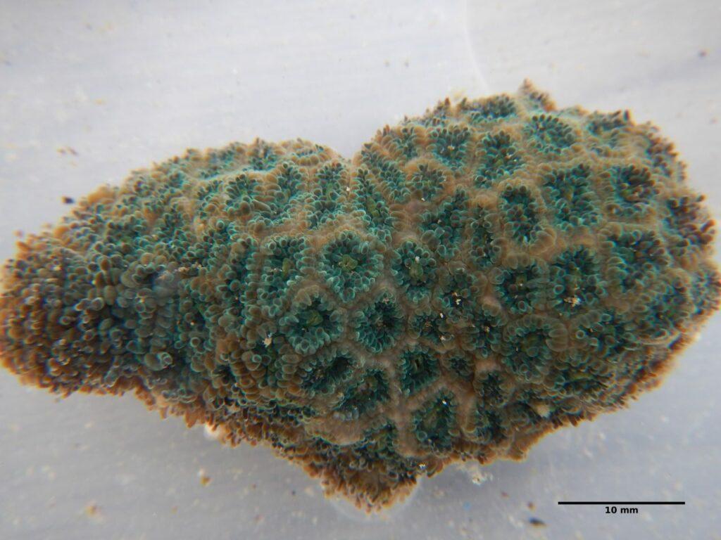Leptastrea pruinosa