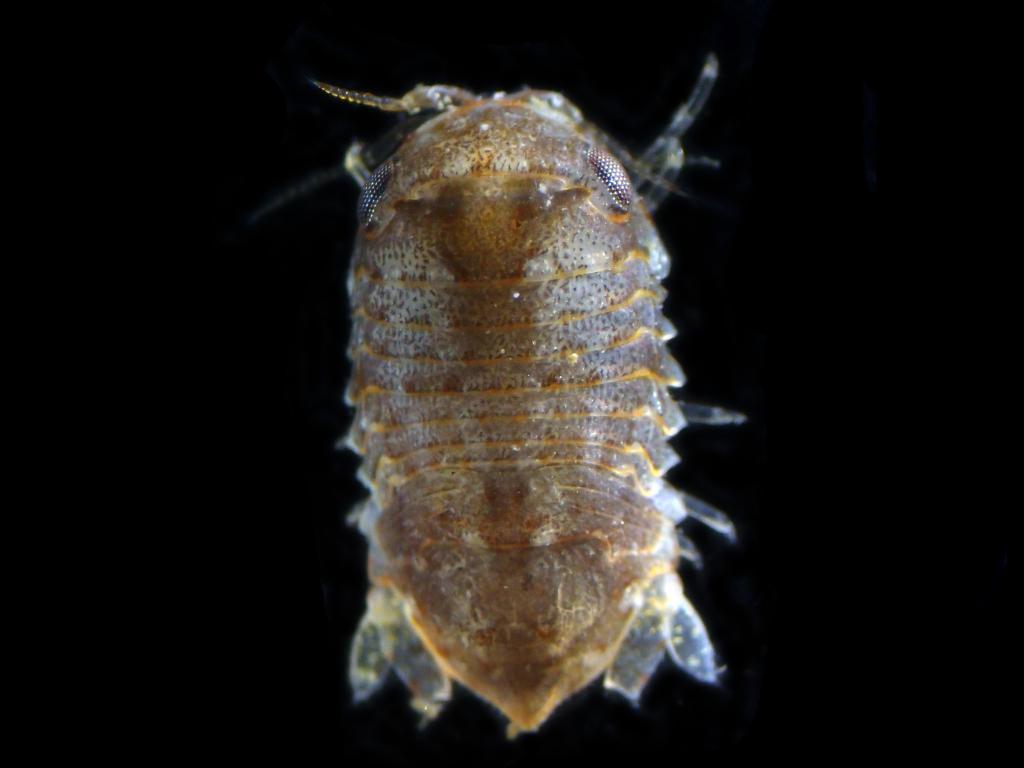 Holotelson-tuberculatus