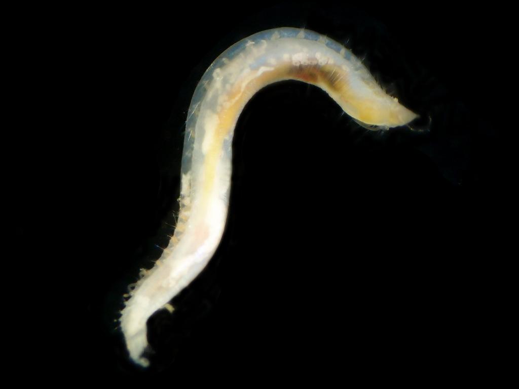 Opheliidae-sp