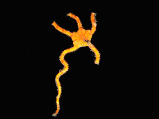 Ophiomyxa-australis
