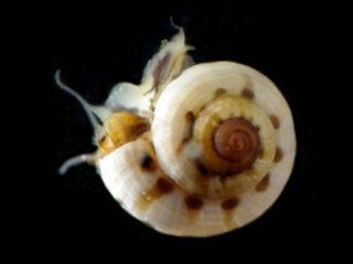 Conotalopia-ornata