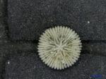 Deltocyathoides orientalis