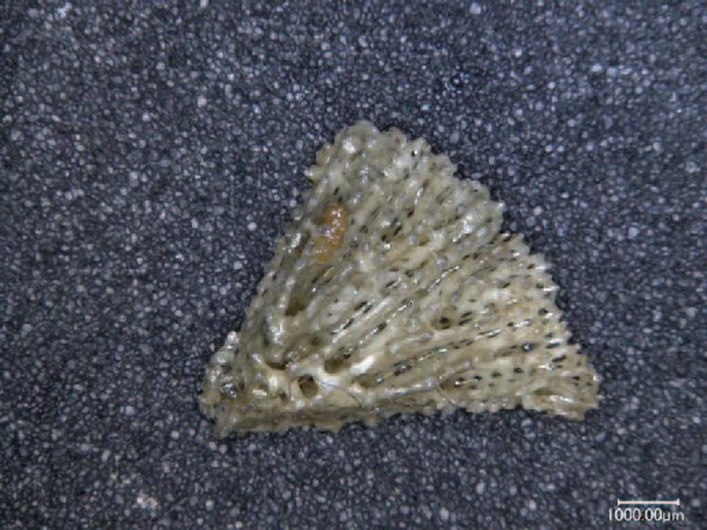 Letepsammia formosissima