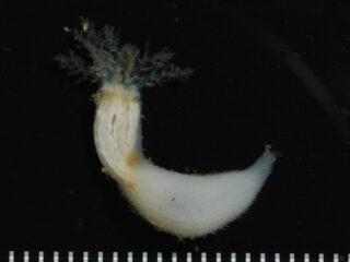 Neothyonidium minutum