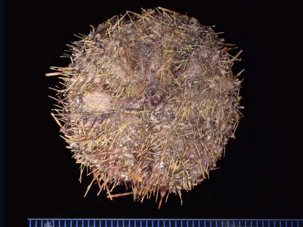 Hapalosoma gemmiferum