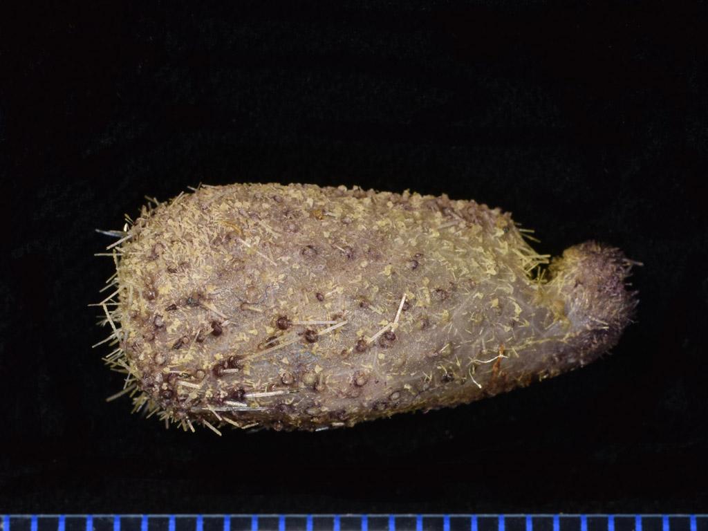 Pourtalesia laguncula