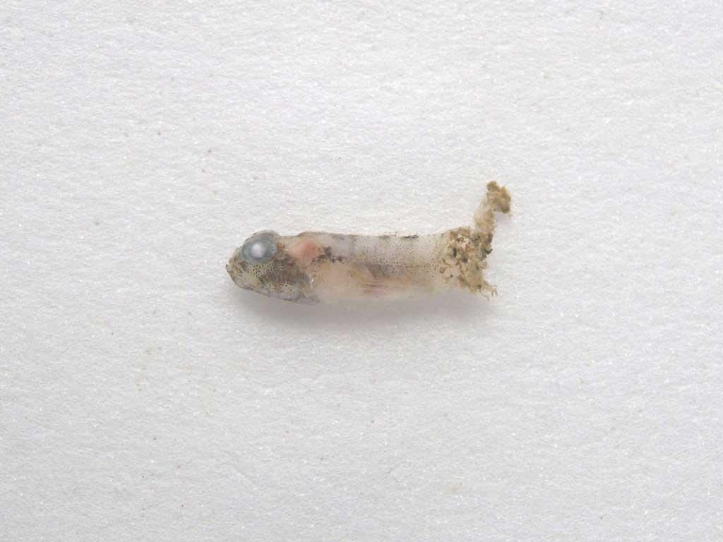 Gobiidae sp