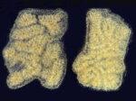 Botryllus scalaris