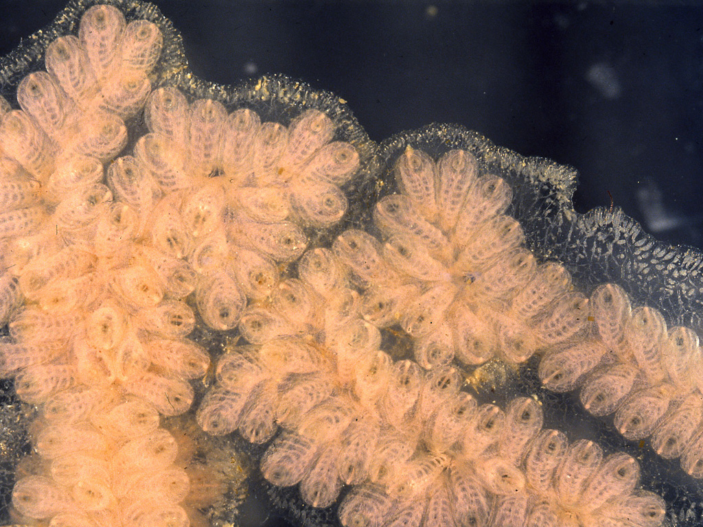 Botryllus puniceus