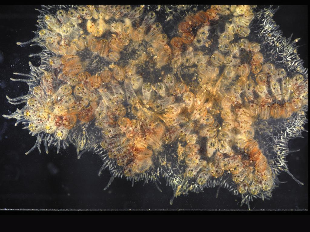 Botryllus delicatus