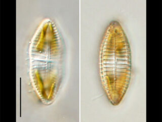 Achnanthes sp